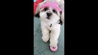 이쁜 모자 쓰고 종치는 패셔니스타 강아지 Cute do…