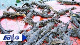 Cá sấu Bạc Liêu rớt giá thê thảm | VTC