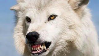 Полярный волк - Polar Wolf (Энциклопедия животных)