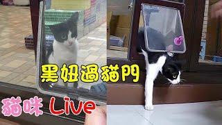 貓咪Live實況#180 是誰成功讓黑妞過貓門?&超放鬆的阿金 20190825 (汝汝杉杉與黑妞MiMi醬阿金)