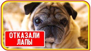 У собаки отказали лапы, что делать. The dog has problems with its hind legs.