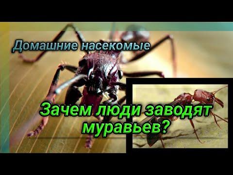 Мирмекиперство как хобби. Зачем люди заводят дома муравьев?