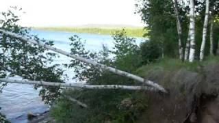 White Birch Trees Growing Sideways