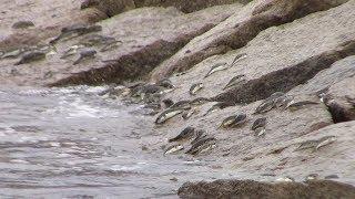 クサフグの大群 初夏の産卵行動 千葉県勝浦市興津の海岸 thumbnail