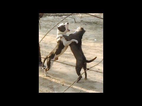 Pitbull Dogs L Punjab Latest Video L 2019