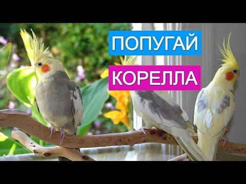 Чем кормить птенцов волнистых попугаев?