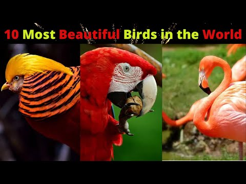 top-10-most-beautiful-birds-in-the-world---top-10-beautiful-birds---amaz-tv