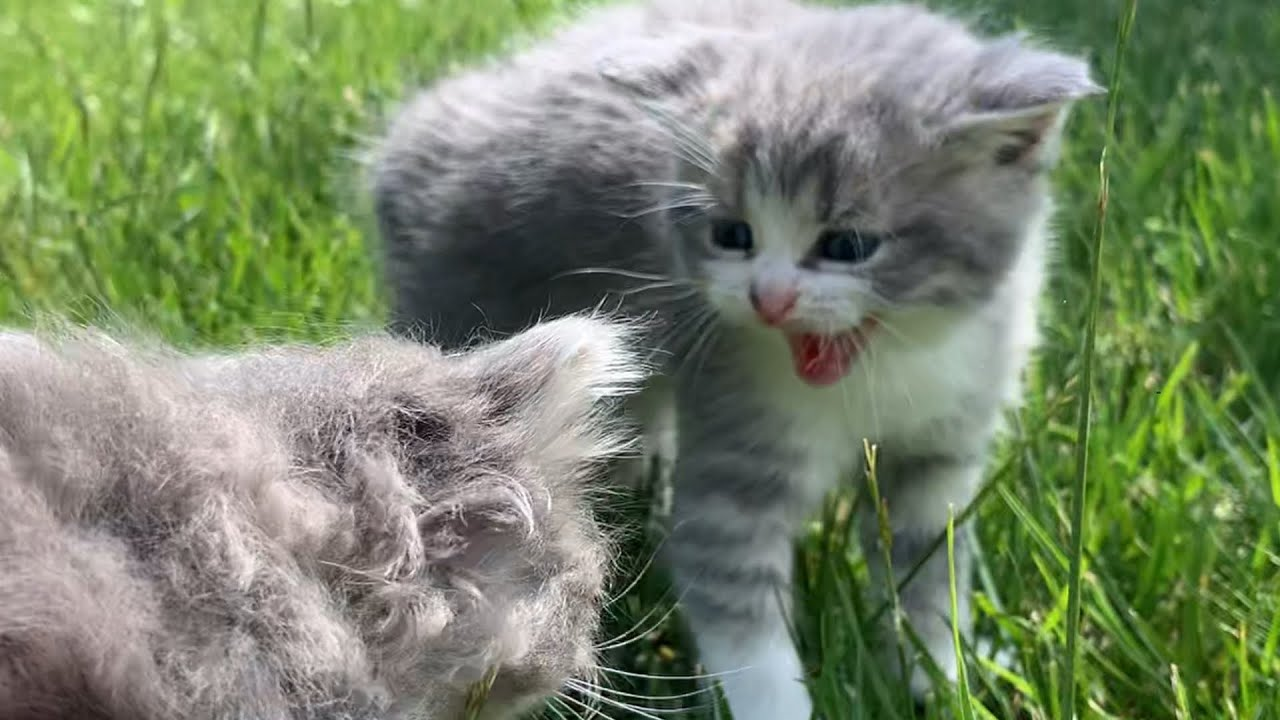 Tiny Kitten hisses to stray cat on the street