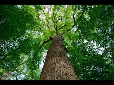Amazing amount of poplar tree seeds
