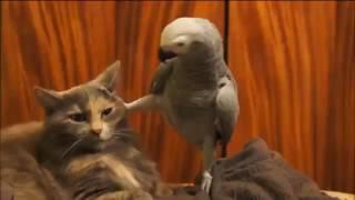 Попугай докапывается до кота | БРАТАН, ОБОИ КЛЕИТЬ УМЕЕШЬ?