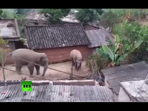Elephants in China Shop: Giant wild animals stroll across expressway and villages