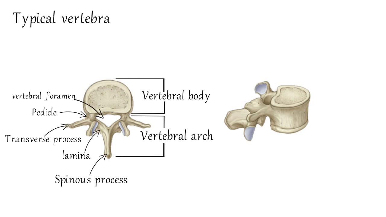 Vertebrae and disc anatomy