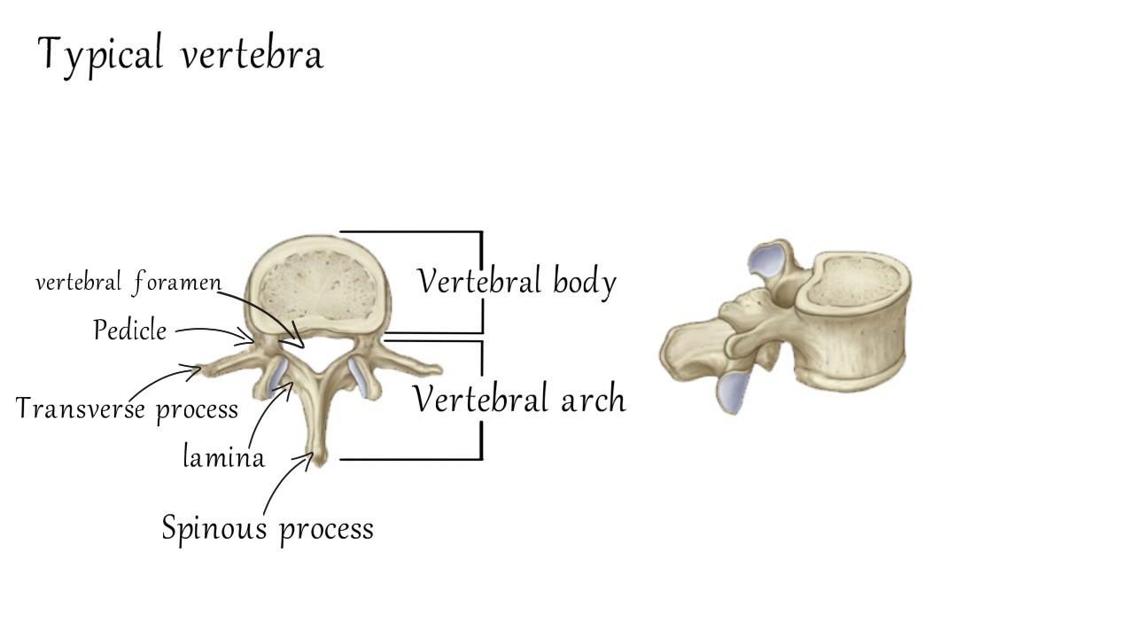 cervical vertebrae diagram gooseneck trailer anatomy youtube