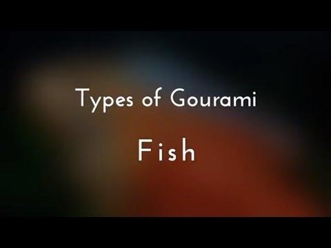 Types Of Gourami Fish