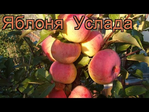 Яблоня обыкновенная Услада (malus uslada) 🌿 яблоня Услада обзор: как сажать саженцы яблони Услада