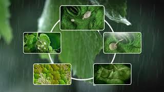 See how Grape Downy Mildew develops