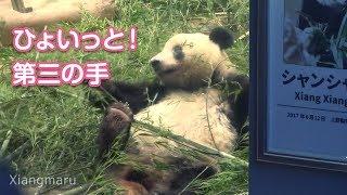 2019/8/12 短い足をヒョイッのシャンシャン!第三の手? Giant Panda Xiang Xiang