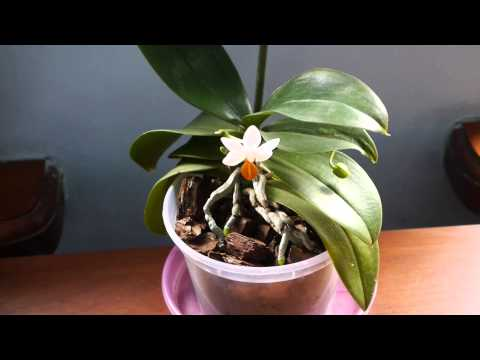 Почему сохнут бутоны у орхидей ?