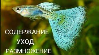 """""""Гуппи"""" Содержание, уход, размножение...и как определить пол рыбки!"""