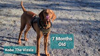 Vizsla Puppy 7 Months Old