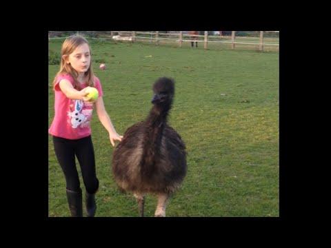 Pet Emu Playing Fetch
