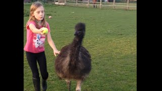 Pet Emu Playing Fetch