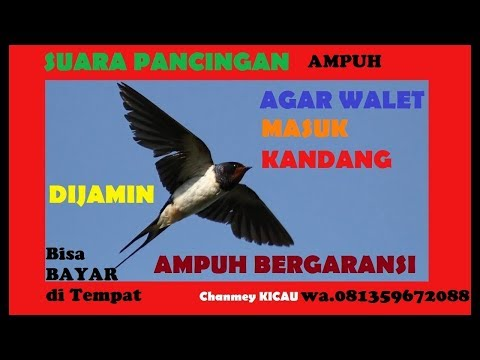 SUARA PANGGIL BURUNG WALET ASLI DARI ALAM | HOW TO CALL SWIFT BIRDS 2018