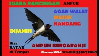 suara-panggil-burung-walet-asli-dari-alam-how-to-call-swift-birds-2018