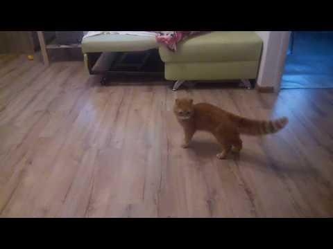 Кот гоняет шпица или шпиц гоняет кота?