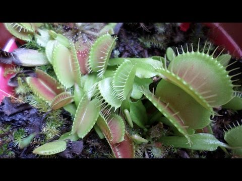 How to grow Venus Flytrap plants from seed - Dionaea muscipula