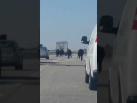 Cows on the Lam After Cattle Transport Truck Overturns in Lenexa, Kansas