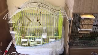 Muhabbet Kuşu Neden Çiftleşmez