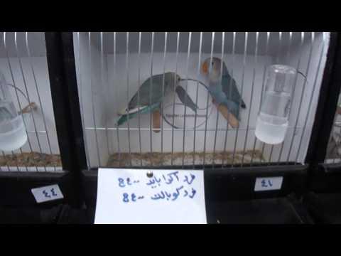 معرض جمعية هواة طيور الحب المصرية بنادي الكشافة بالاسكندرية