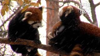 Red Panda Cubs Experience 1st Snow - Cincinnati Zoo