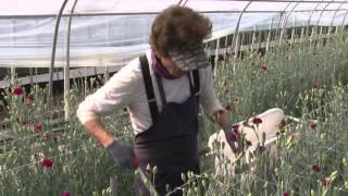 포항시 카네이션 시설재배 농가 최고등급 출하