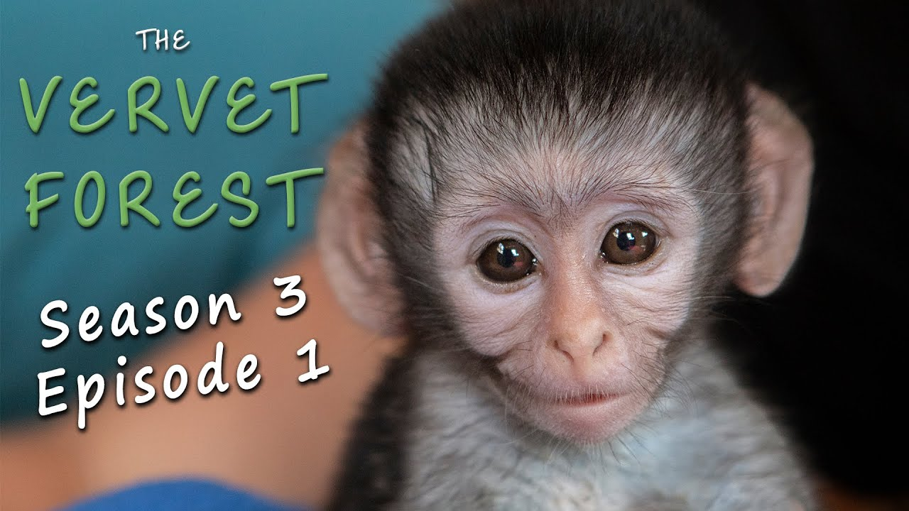 Download First Orphan Baby Vervet Monkey of the Season
