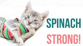 Spinach the Kitten Has Pectus Excavatum
