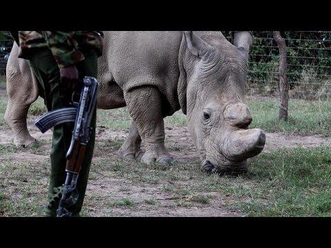 Kenya : le rhinocéros blanc du nord en voie d'extinction
