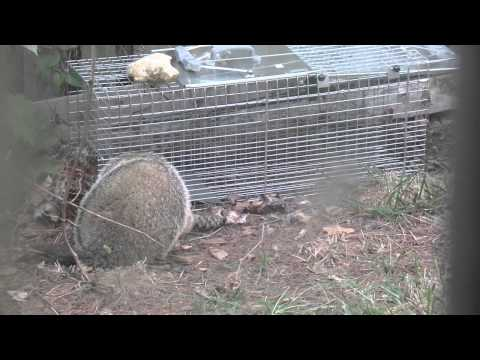 how to get rid of a woodchuck under my shed