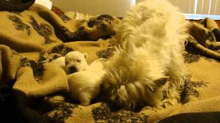 Westie Puppies For Sale By Cammie Camillo Available Now 5-2014
