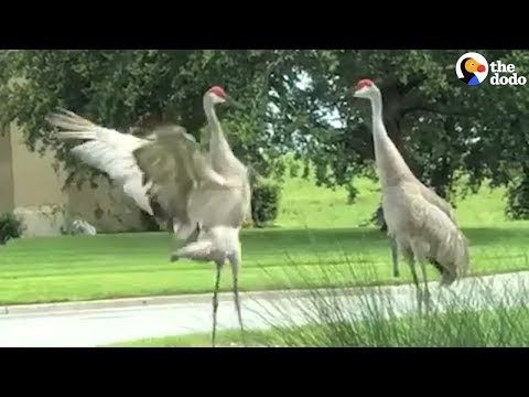 Cranes Do The Craziest Dance To Show They Care | The Dodo