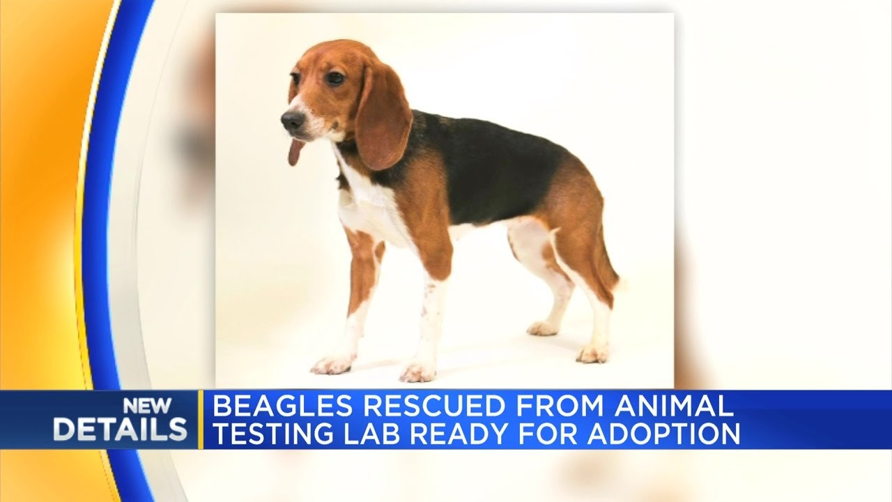 Beagles Rescued From Animal Testing Lab