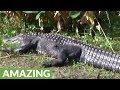 Terrifying walk past 12-foot alligator Southwest Florida trail