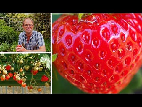 Growing Strawberries: How to Grow the Best Tasting Strawberries