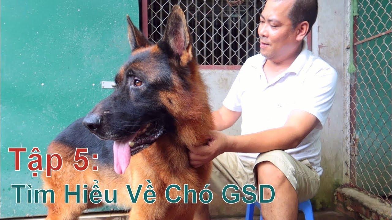 T5: Tìm Hiểu Về Chó GSD – Becgie Đức/ German Shepherd/ NhamTuatTV