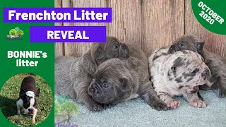 Lovely Frenchton Puppies - Bonnie & Baker  Litter Reveal 10/29/2020