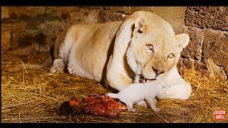Львица -мамы и сестренка зовут маленького львенка ! Миледи реагирует на журналистов !