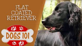 Dogs 101  Flat Coated Retriever  Top Dog Facts About the Flat Coated Retriever