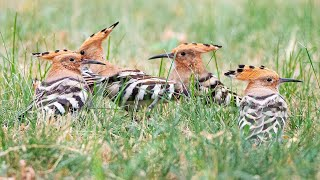 Hoopoe feeds juvenile on the lawn