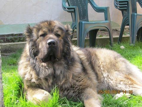 Caucasian Shepherd Dog - 2 impressive males